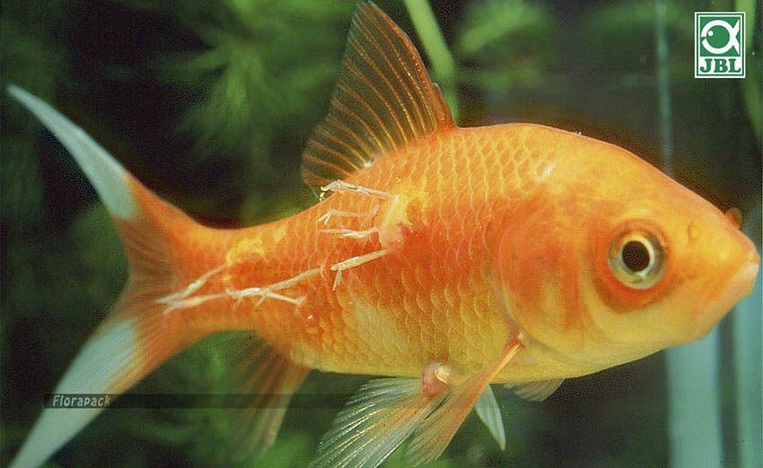 hogyan kell kezelni az aranyhal testén található vörös foltokat)