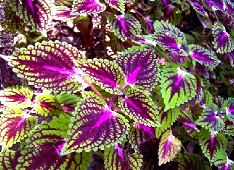 gyógynövények gyűjtése ekcéma és pikkelysömör esetén