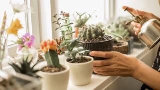 Kaktuszok, a tövises szépségek gondozása | Balkonada